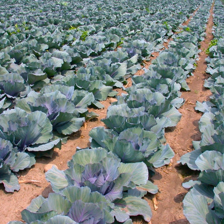 a beautiful green field of cabbages